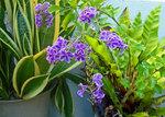 デュランタの花.jpg
