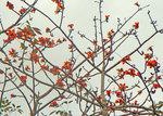 トックリキワタの花.jpg