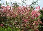 トックリキワタの花満開.jpg