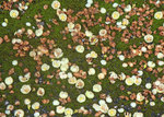 フクギの花b.jpg