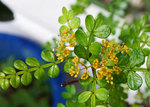 山椒の花.jpg